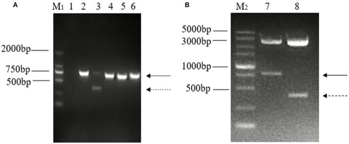 Detection and identification of two distinct bands of the ORF3 gene of PEDV in Guangxi. (A) Amplification of ORF3 gene in PEDV positive samples. M 1 : DL 2000 marker; Lane 1: negative control; Lane 2: predicted product (740 bp); Lane 3: predicted product (740 bp) and large genomic deletion (~358 bp); Lane 4: CV777 strain; Lane 5: Zhejiang-08 strain; Lane 6: AJ1102 strain. (B) Identification of the plasmid, pMD-18T-ORF3, by enzyme digestion using PstI and BamHI. M 2 : DL 5000 marker; Lane 1: The solid arrows indicate the predicted products (740 bp); Lane 2: The dashed arrows indicate products of PEDV variants with a large genomic deletion (~358 bp).