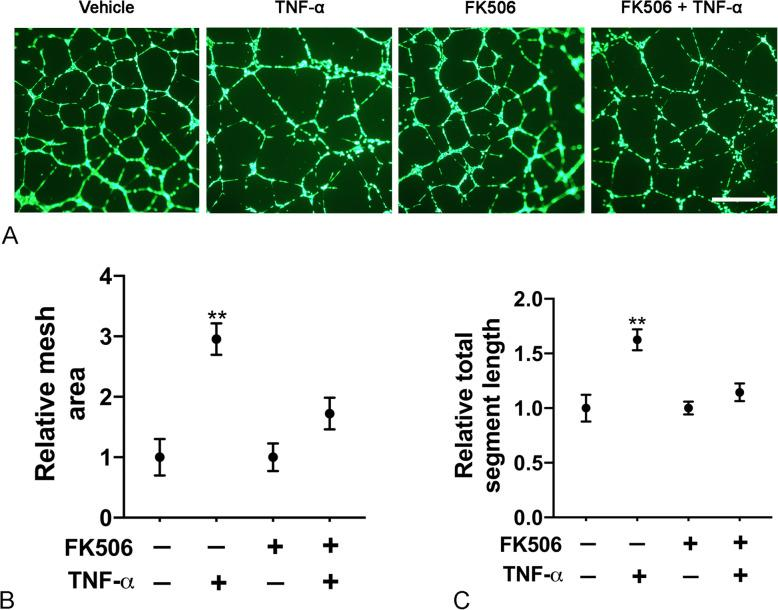 FK506 inhibits TNF-α-induced lymphangiogenesis. Lung lymphatic endothelial cells were grown in 6 well dishes and treated or not with FK506 for 48h (15ng/ml). Cells were then placed on Matrigel and treated as indicated with or without TNF-α (100ng/ml) or FK506 (15ng/ml) for 16h. After Calcein-AM labeling, random 4X images were taken and representative images of lymphangiogenesis in different treatment groups after Calcein-AM labeling are presented ( a ) (Size bar 200μm). Mesh area ( b ) and total segment length ( c ) were analyzed with ImageJ Angiogenesis Analyzer plugin. Results are expressed as mean±SEM of one experiment. ***  P