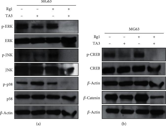 Effects of the combination of Rg1 and TA3 on signaling molecules in MG63 human osteosarcoma cells. (a) Activation of JNK, ERK, and p38, which are the representative MAPKs, is synergistically attenuated by Rg1 and TA3. (b) β -catenin and active form of CREB (p-CREB) were synergistically suppressed by Rg1 and TA3.