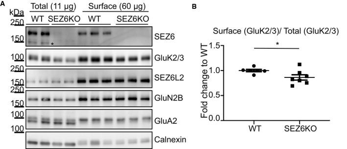"""Quality control of surface enrichment by Sulfo‐ NHS ‐Biotin SEZ6KO and WT neurons were biotinylated with Sulfo‐NHS‐Biotin, and surface proteins were enriched by streptavidin bead pull‐down. Total proteins in the lysates (11 μg, """"Total"""") and surface proteins (60 μg, """"Surface"""") were analyzed by immunoblotting. The efficiency of the enrichment is shown by the calnexin depletion, by the absence of immature SEZ6 (black star, Pigoni et al , 2016 ) and by the absence of a second GluA2 band at a lower molecular weight in the surface pull‐down compared to the total lysates. GluK2/3 was quantified both in total lysates and at the cell surface, and GluK2/3 surface/total ratio was normalized for SEZ6L2 surface/total (plot shows mean ± SEM, 6 WT, and 7 SEZ6KO replicates and Mann–Whitney test were used. Exact * P ‐value = 0.047). Source data are available online for this figure."""