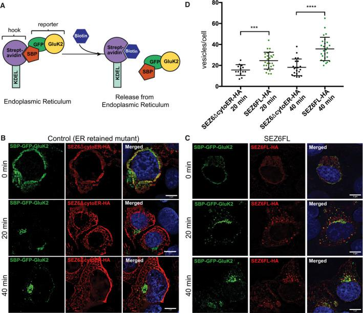 """RUSH assay to analyze trafficking of SBP‐GFP‐GluK2 in HEK293T cells Schematic representation of the RUSH Cargo Sorting Assay using confocal microscopy. HEK293T cells were transfected with the SBP‐GFP‐GluK2 plasmid that expresses a fusion protein consisting of streptavidin binding peptide (SBP) followed by GFP and GluK2, and a streptavidin‐KDEL """"anchor."""" The ER retention signal KDEL retains SBP‐containing proteins in the ER. Upon addition of biotin to the cell culture medium, SBP‐GFP‐Gluk2 is released allowing its trafficking through the secretory pathway. The constitutively ER‐retained SEZ6 mutant SEZ6ΔcytoER‐HA (B) and full‐length wild‐type SEZ6FL‐HA (C) were co‐transfected with SBP‐GFP‐GluK2. Biotin was added to elicit release of SBP‐GFP‐GluK2 from the ER (0 min), and cells were fixed at different time points (0, 20, and 40 min). HA‐tagged SEZ6FL and SEZ6ΔcytoER transgenes were labeled with anti‐HA (mouse) and anti‐mouse‐Alexa594 antibodies. Size bars represent 5 μm. Scatter dot plot represents number of vesicles per cell in SBP‐GFP‐GluK2 RUSH experiment with SEZ6ΔcytoER‐HA (control) or SEZ6FL‐HA co‐transfection. Vesicle counts from 15 to 28 cells per timepoint from 2 independent experiments with mean number of vesicles and error bars (SD) are shown. Mann–Whitney test was used to compare HA‐tagged SEZ6FL and SEZ6ΔcytoER at each time point. At 20 min *** P ‐value = 0.0007, at 40 min **** P ‐value"""