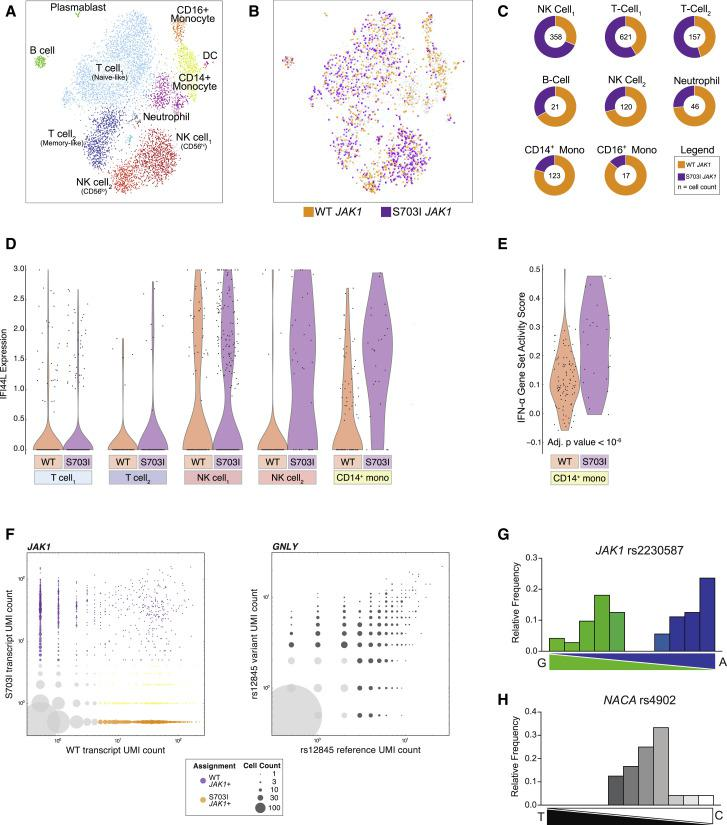 """Custom scRNA-Seq Maps JAK1 Allele Distribution, Transcriptomic Impact, and Expression Patterns (A) tSNE plots and cell-type assignments from scRNA-seq of patient PBMCs, with an inDrops platform adapted to target the mutant JAK1 transcript. n = 4,763 cells. (B) tSNE plots representing the subset of cells with sufficient JAK1 counts to be assigned putative JAK1 genotypes (based on transcript sequences). Cells in which any mutant transcript was detected above empirically determined thresholds ( > 5 JAK1 transcripts) were assigned """"S703I JAK1"""" (purple), while cells with only WT transcript detected were assigned """"WT JAK1"""" (orange). (C) Doughnut charts quantifying allele distribution in cells meeting genotyping criteria (cell count in the center), as in (B). (D) Expression of the ISG IFI44L , a statistically significant differentially expressed gene in the comparison of WT JAK1 and S703I JAK1 genotyped cells. (E) Gene set scores for IFN-α signaling in CD14 + monocytes. (F) Number of unique transcripts detected per cell for the WT or S703I JAK1 allele (left) or a control variant GNLY rs12845 (right). The bubble size indicates the number of cells. The color coding indicates cells containing S703I JAK1 (purple), WT JAK1 without S703I JAK1 (orange), WT JAK1 with S703I JAK1 detected below threshold (yellow), or insufficient transcripts counts (gray). (G) Transcript genotyping of JAK1 rs2230587 from healthy control PBMCs (n = 96) by single-cell qPCR with allele-specific probes. The histogram represents the relative frequency of cells expressing binned allele ratios as quantified by oligonucleotide standards. (I) Single-cell qPCR transcript genotyping of control gene NACA (rs4902). See also Figure S5 ."""
