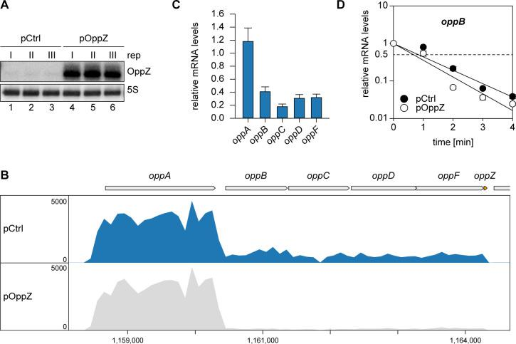 Pulse expression of OppZ reduces oppBCDF transcript levels. ( A ) V. cholerae carrying pBAD1K- oppZ (pOppZ) or a control plasmid (pCtrl) were grown in biological triplicates to exponential phase (OD 600 of 0.5) and oppZ expression was induced by L-arabinose (0.2% final conc.). RNA samples were collected after 15 min and analyzed for OppZ levels by Northern blot; 5S rRNA served as loading control. ( B ) Samples from ( A ) were subjected to RNA-seq and average coverage of the opp operon is shown for one representative replicate. ( C ) V. cholerae Δ oppZ carrying pBAD1K- oppZ or a control plasmid were grown to late exponential phase (OD 600 of 1.0) and oppZ expression was induced by L-arabinose (0.2% final conc.) for 15 min. mRNA levels of oppABCDF were analyzed by qRT-PCR. Bars show mRNA levels upon OppZ induction compared to the control; error bars represent the SD of three biological replicates. ( D ) V. cholerae Δ oppZ strains carrying either pBAD1K-ctrl (pCtrl) or pBAD1K- oppZ (pOppZ) were grown to late exponential phase (OD 600 of 1.0) and treated with L-arabinose (0.2% final conc.) to induce sRNA expression. After 15 min of induction, rifampicin was added to terminate transcription. RNA samples were obtained at the indicated time points and oppB transcript levels were monitored by qRT-PCR. Error bars represent the SD of three biological replicates. Full Northern blot images for the corresponding detail sections shown in Figure 3—figure supplement 1 and raw data for transcript changes as determined by qRT-PCR.