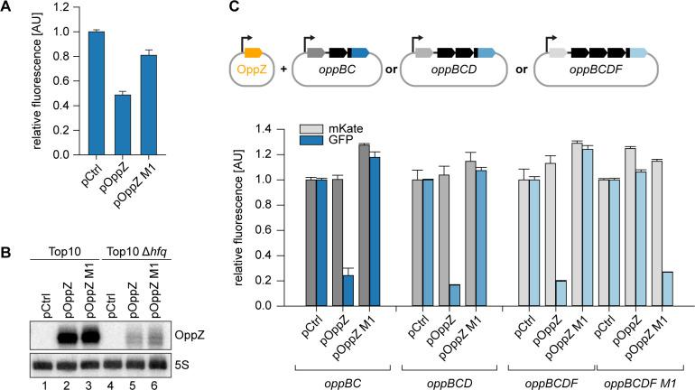 Hfq-dependent, post-transcriptional repression of OppBCDF by OppZ. ( A ) E. coli Δ hfq strains carrying the translational oppB-gfp reporter plasmid and either a control plasmid or the indicated OppZ expression plasmids were grown to OD 600 = 1.0 and fluorophore production was measured. GFP levels of the control strain were set to 1. Error bars represent the SD of three biological replicates. ( B ) E. coli wild-type or Δ hfq strains carrying the translational oppB-gfp reporter plasmid and either a control plasmid or the indicated OppZ expression plasmids were grown to OD 600 = 1.0. RNA samples were analyzed for OppZ levels by Northern blot; 5S rRNA served as loading control. ( C ) E. coli strains carrying translational reporter plasmids with the indicated parts of the opp operon placed between mKate2 and gfp were co-transformed with a control plasmid or the respective OppZ expression plasmids. Transcription of the reporter and oppZ were driven by constitutive promoters. Cells were grown to OD 600 = 1.0 and fluorophore production was measured. mKate and GFP levels of strains carrying the control plasmid were set to 1. Error bars represent the SD of three biological replicates. Full Northern blot images for the corresponding detail sections shown in Figure 3—figure supplement 2 and raw data for fluorescence measurements.