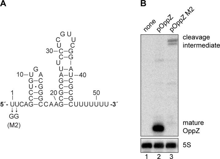 Mutational analysis of the RNase E site in oppZ . ( A ) Predicted structure of the OppZ sRNA. The M2 mutation blocking cleavage by RNase E is indicated. ( B ) E. coli strains carrying the empty pXG10-SF plasmid or derivatives with the indicated oppZ gene in the 3' UTR of gfp were grown to OD 600 = 1.0. RNA samples were analyzed for OppZ processing by Northern blot; 5S rRNA served as loading control. Full Northern blot images for the corresponding detail sections shown in Figure 3—figure supplement 3 .