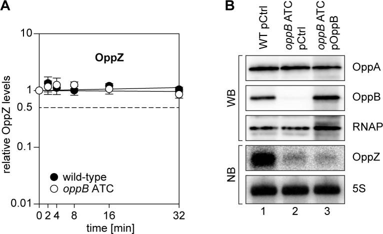 Translational control of OppZ synthesis. ( A ) V. cholerae wild-type and oppB ATC strains were grown to stationary phase (OD 600 of 2.0) and treated with rifampicin to terminate transcription. RNA samples were obtained at the indicated time points and OppZ transcript levels were monitored by Northern blot and normalized to 5S rRNA levels as loading control. Error bars represent the SD of three biological replicates. ( B ) V. cholerae wild-type and oppB ATC strains carrying either a control plasmid (pCtrl) or an inducible oppB complementation plasmid (pOppB) were grown to late exponential phase (OD 600 of 1.0) and oppB expression was induced by the addition of L-arabinose (0.2% final conc.). Protein and RNA samples were obtained after 60 min and tested for OppA and OppB production by Western blot and for OppZ expression by Northern blot. RNAP and 5S rRNA served as loading controls for Western and Northern blots, respectively. Quantification of OppZ levels in wild-type and oppB ATC cells from Northern blots and full blot images for the corresponding detail sections shown in Figure 4—figure supplement 1 .