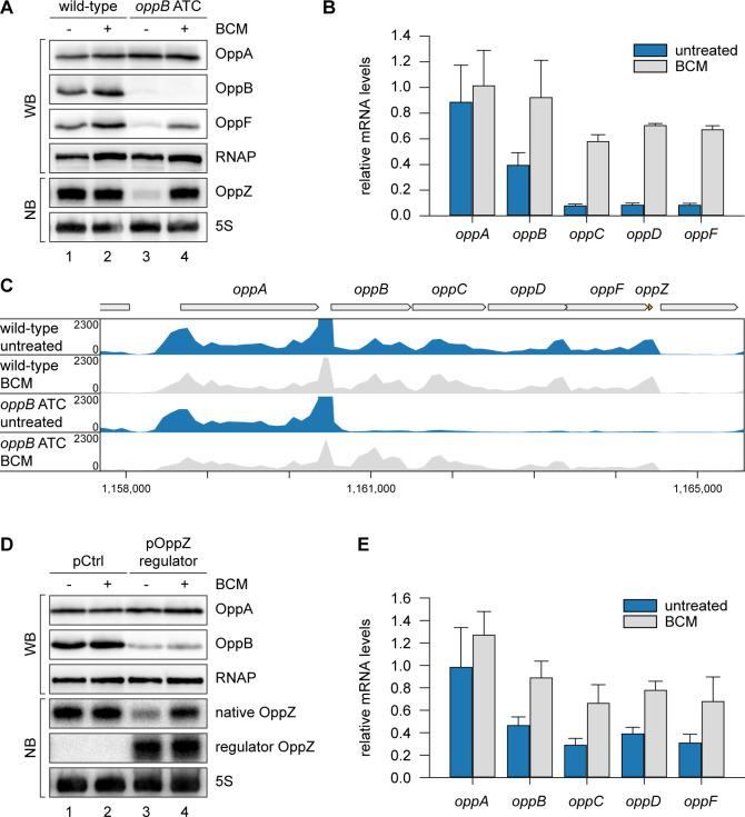 OppZ promotes transcription termination through Rho. ( A ) V. cholerae oppA ::3XFLAG oppB ::3XFLAG oppF ::3XFLAG strains with wild-type or mutated oppB start codon were grown to early stationary phase (OD 600 of 1.5). Cultures were divided in half and treated with either H 2 O or BCM (25 µg/ml final conc.) for 2 hr before protein and RNA samples were collected. OppA, OppB and OppF production were tested by Western blot and OppZ expression was monitored by Northern blot. RNAP and 5S rRNA served as loading controls for Western and Northern blots, respectively. ( B ) Biological triplicates of V. cholerae oppA ::3XFLAG oppB ::3XFLAG strains with wild-type or mutated oppB start codon were treated with BCM as described in ( A ). oppABCDF expression in the oppB start codon mutant compared to the wild-type control was analyzed by qRT-PCR. Error bars represent the SD of three biological replicates. ( C ) Triplicate samples from ( B ) were subjected to Term-seq and average coverage of the opp operon is shown for one representative replicate. The coverage cut-off was set at the maximum coverage of annotated genes. ( D ) V. cholerae oppA ::3XFLAG oppB ::3XFLAG strains carrying a control plasmid (pMD397) or a plasmid expressing regulator OppZ (pMD398) were treated with BCM as described in ( A ). OppA and OppB production were tested by Western blot and expression of native OppZ and regulator OppZ was monitored on Northern blot using oligonucleotides binding to the respective loop sequence variants. RNAP and 5S rRNA served as loading controls for Western and Northern blots, respectively. ( E ) Levels of oppABCDF in the experiment described in ( D ) were analyzed by qRT-PCR. Error bars represent the SD of three biological replicates. Full blot images for the corresponding detail sections shown in Figure 5 and raw data for transcript changes as determined by qRT-PCR.