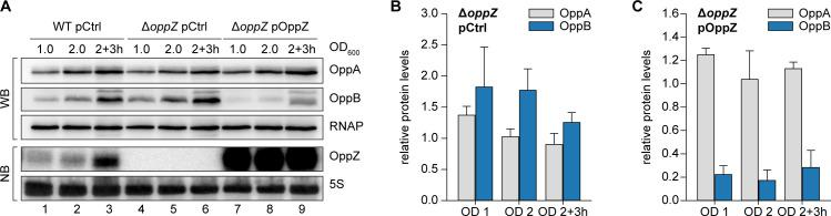 OppZ-dependent repression of OppA and OppB protein levels. ( A ) V. cholerae wild-type and Δ oppZ strains carrying the oppA ::3XFLAG and oppB ::3XFLAG genes and either a control plasmid or a constitutive OppZ expression plasmid were grown to obtain protein and RNA samples at the indicated OD 600 . OppA and OppB production were analyzed by Western blot and OppZ expression was tested by Northern blot. RNAP and 5S rRNA served as loading controls for Western and Northern blots, respectively. ( B ) Quantification of ( A ), bars show fold regulation of OppA and OppB in Δ oppZ compared to the wild-type; error bars represent the SD of four biological replicates. ( C ) Quantification of ( A ), bars show fold regulation of OppA and OppB upon OppZ overexpression in the Δ oppZ background compared to the wild-type control; error bars represent the SD of four biological replicates. Quantification of OppAB protein levels from Western blots and full blot images for the corresponding detail sections shown in Figure 8—figure supplement 1 .