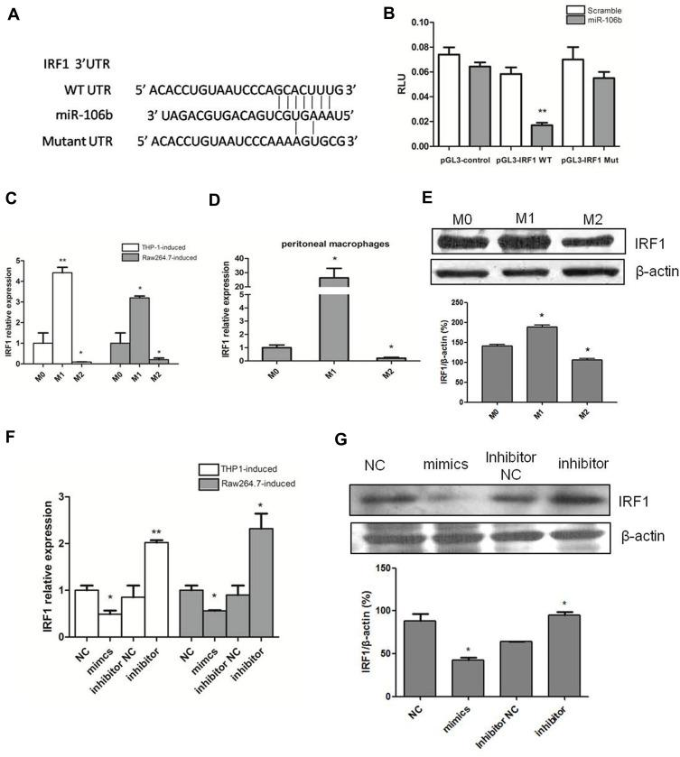 IRF1 is a target gene of miR-106b-5p in the glioma infiltrating macrophages. ( A ) The predicted miR-106b-5p-binding site of the 3ʹ-UTR, and mutation of IRF1 3ʹ-UTR disrupted miR-106b-5p binding. ( B ) Luciferase activity assay showed the binding of miR-106b-5p to the 3ʹUTR of IRF1 and inhibition of IRF1 (** P