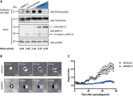 BNIP-2 knockdown suppresses RhoA activity and retards cell polarization during early cell spreading. ( A ) Endogenous RhoA activity of MDA-MB-231 cells was examined in the presence of different amounts of BNIP-2. Lysates of MDA-MB-231 cells transfected with BNIP-2–targeting siRNA (siBNIP-2) or transiently expressing gradually increasing amount of GFP-BNIP-2 (illustrated by blue triangle) were used for pulldown with immobilized glutathione S -transferase (GST)–RBD (GST-RBD) of rhotekin and then Western blotted with RhoA, BNIP-2, and <t>glyceraldehyde-3-phosphate</t> dehydrogenase (GAPDH) antibodies. Blue arrow denotes the GFP-BNIP-2, while purple arrow denotes the endogenous BNIP-2. The ratio of active RhoA to total RhoA is normalized to untransfected in lane 2 and labeled at the bottom. ( B ) Snapshots of shVector control and BNIP-2 knockdown cells during spreading on collagen I–coated plastic-bottom plates. Representative cells spreading at 0, 20, 40, and 54 min are displayed. ( C ) Cell aspect ratios are quantified and plotted for control and BNIP-2 knockdown cells during 60-min spreading. Data are means ± SEM of two independent experiments.
