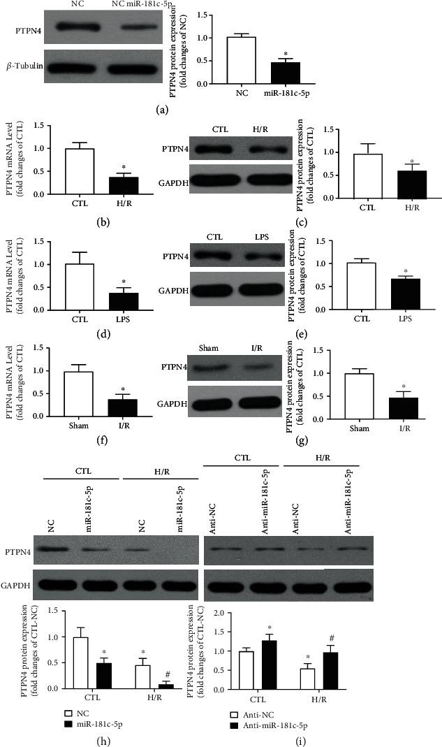 PTPN4 is the potential target of miR-181c-5p. Overexpression of miR-181c-5p results in reduced levels of protein expression (a) of PTPN4 in H9C2 cardiomyocytes. (b) mRNA and (c) protein expression in H9C2 cardiomyocytes with or without H/R stimulation. (d) mRNA and (e) protein expression in H9C2 cardiomyocytes with or without LPS stimulation. (f) mRNA and (g) protein expression in the postischemic myocardium of rat. Representative Western blots of PTPN4 and GAPDH in the miR-181c-5p agomir (h) or antagomir (i)-transfected H9C2 cardiomyocytes with or without H/R stimulation. Protein presence of PTPN4 was normalized to β -tubulin or GAPDH. mRNA levels are expressed as fold changes against the mRNA expression in H9C2 cardiomyocytes with no stimulation or myocardium in Sham group. Anti-NC: negative control of miR-181c-5p antagomir; data are shown as means ± SEM; ∗ P