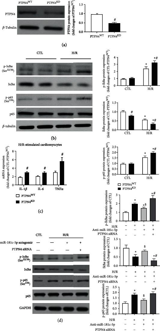 Reduction of PTPN4 mediated the proinflammatory effect of miR-181c-5p in H9C2 cardiomyocytes. (a) Transfection of cells with PTPN4 siRNA (PTPN4 KD ) resulted in significant reduction of PTPN4 protein level in H9C2 cardiomyocytes. (b) Representative Western blots of phosphorylated I κ B α (Ser 32/36 ), I κ B α , phosphorylated p65 (Ser 526 ), p65, and β -tubulin in the scramble siRNA or PTPN4 siRNA transfected H9C2 cardiomyocytes with or without H/R stimulation. (c) mRNA expression of NF κ B-dependent genes, including IL-1 β , IL-6, and TNF α in the scramble siRNA or PTPN4 siRNA-transfected H9C2 cardiomyocytes with H/R stimulation. mRNA levels are expressed as fold changes against those mRNA expressions in scramble siRNA-transfected H9C2 cardiomyocytes with no stimulation. (d) Representative Western blots of phosphorylated I κ B α (Ser 32/36 ), I κ B α , phosphorylated p65 (Ser 526 ), p65, and GAPDH in the H9C2 cardiomyocytes cotransfected with miR-181c-5p antagomir and PTPN4 siRNA and subjected to H/R stimulation. Protein presence of phosphorylated I κ B α (Ser 32/36 ), I κ B α , and phosphorylated p65 (Ser 526 ) was normalized to I κ B α , β -tubulin/GAPDH, and p65, respectively. Data are shown as means ± SEM; ∗ P