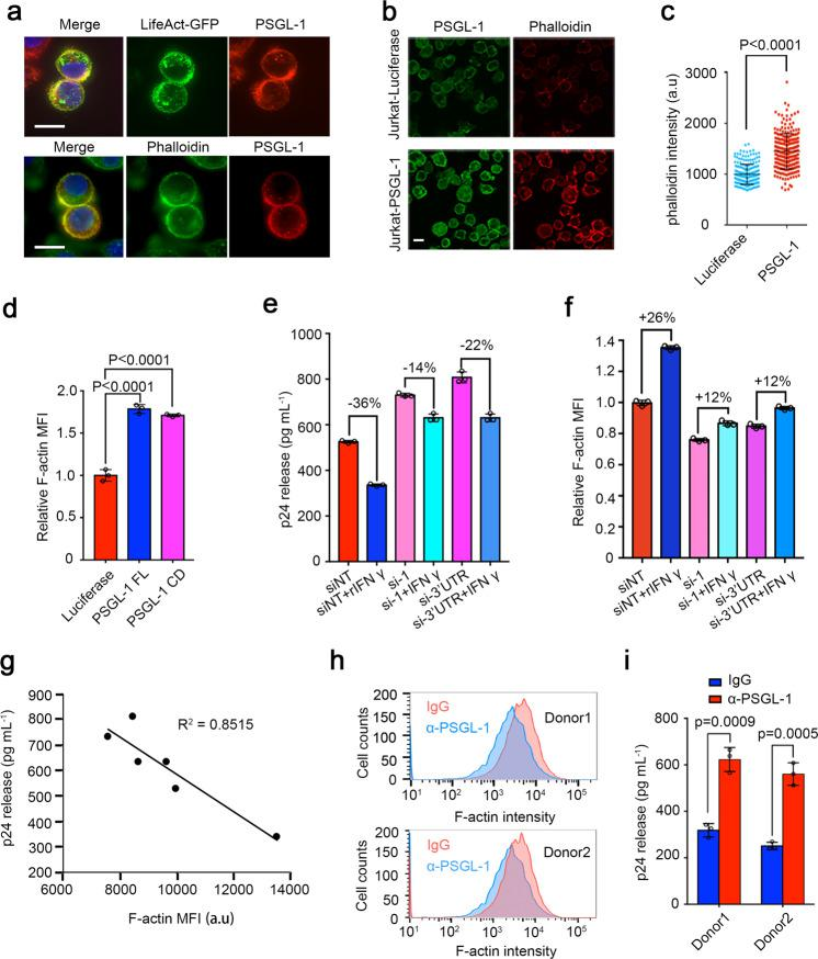 PSGL-1 stabilizes cellular F-actin to restrict HIV infection. a Immunofluorescence staining of PSGL-1 in HeLa-based MAGI cells overexpressing PSGL-1 using anti-PSGL-1 antibody. Upper panel: PSGL-1 (red) colocalizes with LifeAct-GFP (green), which binds F-actin; Lower panel: PSGL-1 (red) colocalizes with phalloidin (green). Scale bar: 10 μm. b, c Immunofluorescence staining of PSGL-1 using anti-PSGL-1 antibody (green) and phalloidin (red) in Jurkat T cells overexpressing luciferase or PSGL-1. Scale bar: 5 μm. The phalloidin intensity of cells in each group is shown in c . d Jurkat T cells overexpressing luciferase, PSGL-1 or PSGL-1 CD (cytoplasmic domain) alone were stained with phalloidin and analyzed with FACS. Relative MFIs were normalized to luciferase group. MFI mean fluorescence intensity. n = 3. e, f Activated primary CD4 + T cells were treated with IFN-γ or mock-treated for 12 h before being electroporated with two different siRNAs targeting PSGL-1 or non-targeting control siRNA (siNT) for 48 h. The cells were then either fixed for phalloidin staining and FACS quantification ( f ) or infected with HIV-1 NL4-3 for 72 h before the supernatant being collected for p24 ELISA ( e ). n = 3 for e, f . g Correlation between cellular F-actin intensities and HIV-1 infection rates in e, f . h, i Activated primary CD4 + T cells from two healthy donors were incubated with PSGL-1 antibody or IgG for 2 h before being fixed for phalloidin staining ( h ) or infected with HIV-1 NL4-3 for 72 h before the supernatant being collected for p24 measurement ( i ). n = 3.