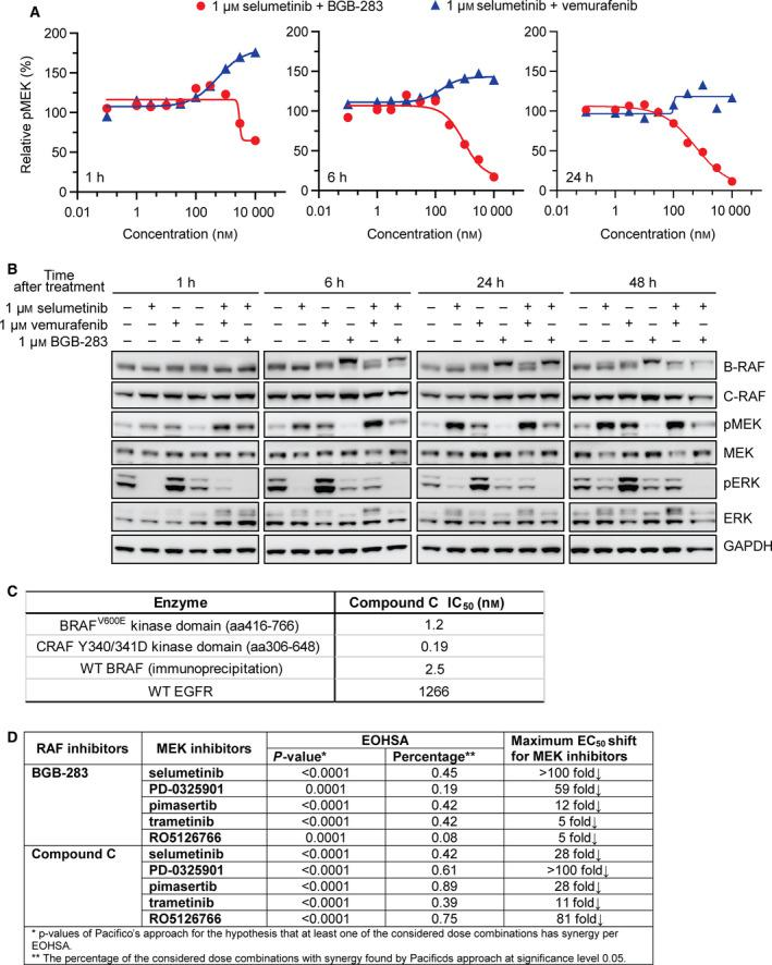 Combination of BGB‐283 and selumetinib effectively inhibited selumetinib‐induced pMEK accumulation and led to sustained pERK reduction. (A) Dose–response curve of MEK phosphorylation in Calu‐6 cells treated with 1 µ m selumetinib combined with increasing concentrations of BGB‐283 or vemurafenib for 1, 6, and 24 h. (B) Immunoblotting of B‐RAF, C‐RAF, pMEK, MEK, pERK, and ERK in Calu‐6 cells incubated with 1 µ m selumetinib alone or combined with 1 µ m BGB‐283 or 1 µ m vemurafenib after 1‐ to 48‐h treatment. (C) Biochemical activity of compound C against WT B‐RAF, B‐RAF V600E , C‐RAF, and EGFR. (D) Comparison of synergistic effect of MEKi with BGB‐283 or compound C from P ‐value, the percentage of dose combination with synergy, and maximum EC 50 shift in Calu‐6 cells.