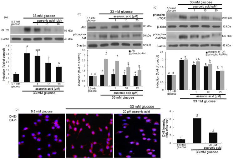 Inhibition of induction of GLUT1, phospho-Akt, phospho-mTOR, and phospho-AMPKα by asaronic acid ( A – C ), and blockade of ROS production by 20 μM asaronic acid ( D ). J774A.1 macrophages were exposed to 33 mM glucose in the absence and presence of 1-20 μM asaronic acid for 48 h. Cell lysates were subject to 8–12% SDS-PAGE and Western blot analysis with a primary antibody against GLUT1, Akt, phospho-Akt, phospho-mTOR, and phospho-AMPKα. β-Actin antibody was used as an internal control. The bar graphs (mean ± SEM, n = 3) in the panels represent quantitative results of the upper blot bands obtained from a densitometer. Mean values in respective bar graphs not sharing a same lower-case alphabet letter are significantly different at p