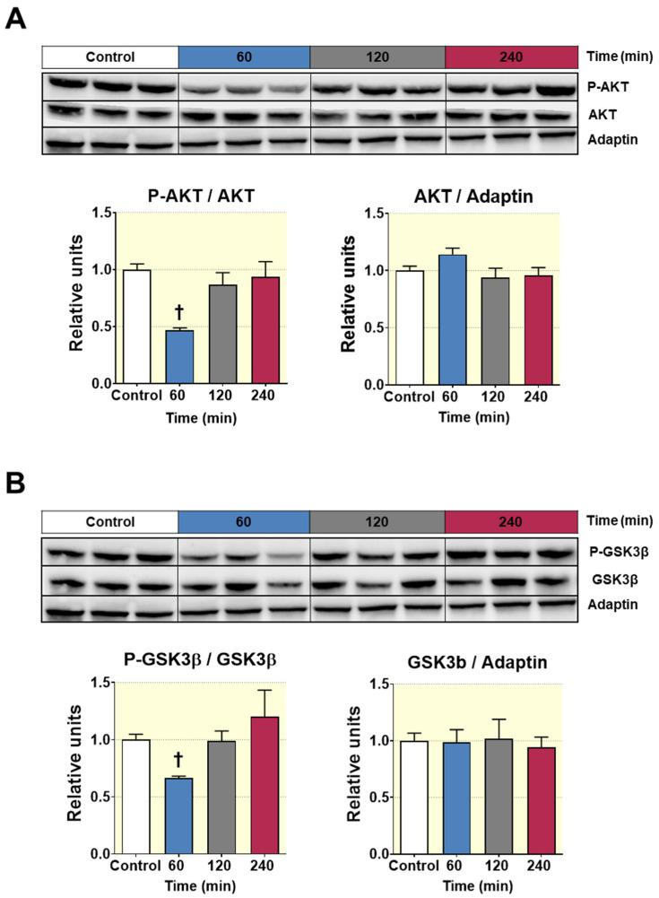 Western blot analysis of the phosphorylation status of the enzymes AKT and GSK3β from liver lysates of Wistar rats treated with 500 mg/Kg of D-Pinitol (p.o.), for 60, 120 and 240 min. ( A ) Representative western blot analysis for AKT (upper panels) and p-AKT/AKT ratio and AKT/adaptin ratio (bottom panels), from liver samples of Wistar rats treated with D-Pinitol for times indicated in figure. The blot shows analysis from three independent samples from each treatment group. The corresponding expression of adaptin is shown as a loading control per lane. ( B ) Representative western blot analysis for GSK3β (upper panels) and p-GSK3β/GSK3β ratio and GSK3β/adaptin ratio (bottom panels) of liver samples from Wistar rats treated with D-Pinitol, at times indicated in figure. The blot shows analysis from three independent samples from each treatment group. The corresponding expression of adaptin is shown as a loading control per lane. All samples shown in the figure were derived at the same time and processed in parallel in the corresponding blot. The adjustment to digital images did not alter the information contained therein. Differences between groups were evaluated using one-way Anova + Fisher's LSD test: † p