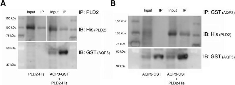 The interaction between PLD2 and AQP3 is likely direct. Sf9 insect cells were infected with baculovirus expressing either His-tagged PLD2 (PLD2-His; Fig. 4 A, left panel) or GST-tagged AQP3 (AQP3-GST; Fig. 4 B) alone or with both AQP3-GST and PLD2-His ( Fig. 4 A, right panel, Fig. 4 B). Equal volumes of pre-cleared Sf9 lysates were then immunoprecipitated (IP) with anti-GST antibody (to pull down AQP3-GST) or anti-PLD2 antibody, and the immunoprecipitates were analyzed by sodium dodecyl sulfate polyacrylamide gel electrophoresis (SDS-PAGE) and immunoblotting (IB) using antibodies recognizing GST (for AQP3-GST) or His (for PLD2-His) as indicated. A 1/10 volume of lysate was similarly analyzed (Input). Results are representative of three experiments.