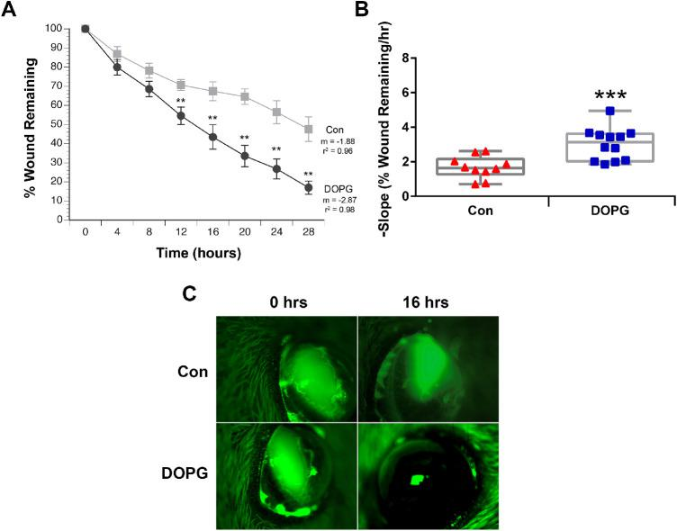 DOPG accelerates corneal epithelial wound healing in AQP3 knockout mice. Anesthetized mice (n = 10–12) received corneal wounds produced by scraping the epithelium with an Algerbrush. Fluorescein was added to the wounded eye, and the wound was photographed. Saline control vehicle (Con) or DOPG in saline (100 µg/mL) was then applied to the eye. This process was repeated every 4 hours for 28 hours. The area of the photographed wounds was digitized and expressed as a percentage of the initial wound area. ( A ) Mean ± SEM of the wound area at each Con versus DOPG time point; these values were compared using an unpaired Student's t-test, with ** P