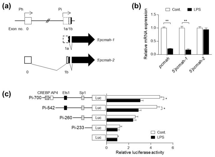 LPS downregulates levels of intestine-specific 5'pcmah-1 transcript and Pi promoter of pcmah in IPI-2I cells. ( a ) A schematic diagram for genomic structure of the pcmah . 5'pcmah-1 and 5'pcmah-2 , two alternative splicing variants of the pcmah , have a distinct transcription initiation site located in exons 0 and 1a, respectively. Each promoter region responsible for intestine specific splicing variant 5'pcmah-1 and housekeeping splicing variant 5'pcmah-2 is indicated by Pi (intestine specific promoter) and Ph (housekeeping promoter), respectively. Shaded boxes indicate the coding exons, while open boxes indicate untranslated exons. Two splicing variants of the pcmah share a common ORF region (shaded arrow boxes). ( b ) IPI-2I cells were treated with 100 ng/mL LPS for 1 h. mRNA expression of pcmah , 5'pcmah-1 , and 5'pcmah-2 were determined by qRT-PCR. Numbers below images indicate fold-change in mRNA expression. ( c ) The indicated 5' deletion constructs for the Pi promoter region were transiently transfected into IPI-2I cells. After 24 h, the cells were treated with LPS for 1 h. Luciferase and <t>β-galactosidase</t> activity in the transfected cells was measured. For each transfection, luciferase activity was normalized with β-galactosidase activity and the relative value was determined from the ratio of normalized activity and activity in cells transfected with the empty pGL3-basic vector. Transcription factors in the region are indicated. Graphs represent three independent experiments performed in triplicate. Data represent the mean ± SD. * P