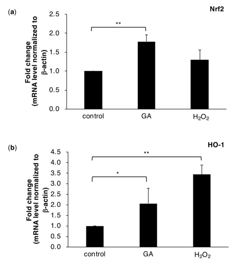 Quantitative real-time PCR demonstrated that Nrf2 ( a ) and HO-1 ( b ) expression levels were increased by GA in HepG2 cells after a treatment with 0 or 4 mM GA or 1 mM H 2 O 2 for 6 h. H 2 O 2 was employed as a positive control. Normalized gene expression levels were given as a ratio between the mean value for the target gene and that for β-actin in each sample. Results are mean ± S.D. * p