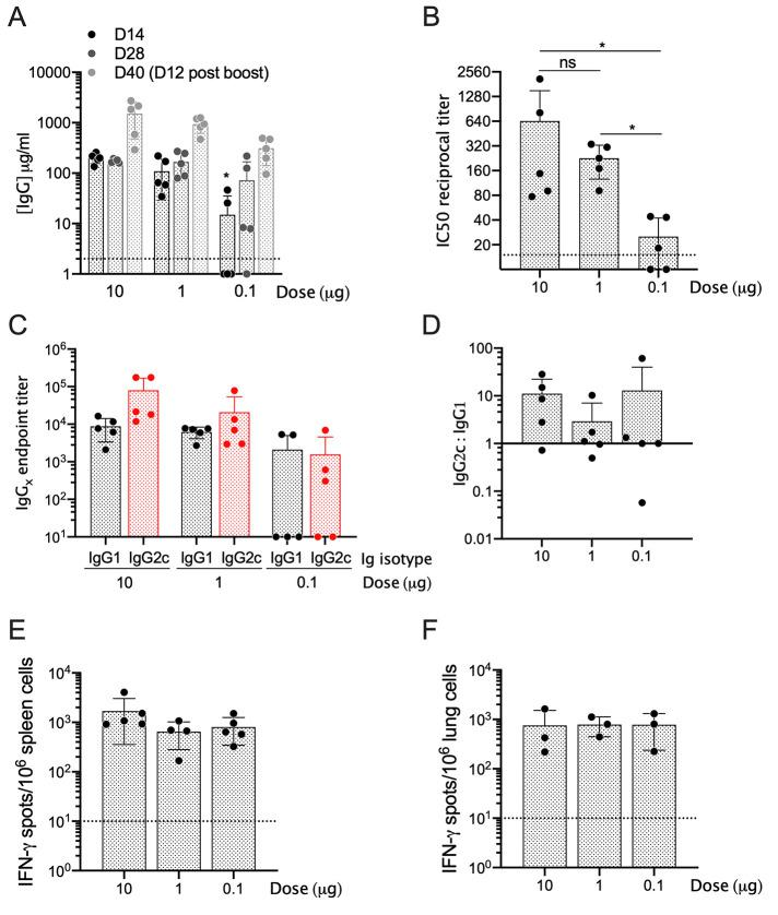 The LION/repRNA-CoV2S vaccine induces Th1-biased and neutralizing antibodies in C57BL/6 mice. Six to eight-week old C57BL/6 mice (n=5/group) received 10, 1, or 0.1 μg LION/repRNA-CoV2S via the intramuscular route on days 0 and 28. ( A ) Anti-S IgG antibody concentrations were determined by enzyme linked immunosorbent assay (ELISA) on days 14, 28, and 40. For day 14 samples, ( B ) 50% inhibitory concentrations (IC50) were determined by pseudovirus (SARS-CoV-2 Wuhan-Hu-1 pseudotype) neutralization assays. For day 14 samples, ( C ) anti-S IgG1 and <t>IgG2c</t> antibody endpoint titers and ( D ) ratios were determined by ELISA. On day 40, 12 days after a booster immunization, ( E ) spleens and ( F ) lungs were harvested and IFN-γ responses were measured by enzyme-linked immune absorbent spot (ELISpot) assay following an 18-hour stimulation with 10 peptide pools encompassing the S protein and consisting of 15 mers overlapping by 11 amino acids (see Fig. S1). Data in A , C , and D are representative of 3 independent experiments; data in B , E , and F are from a single experiment. Dotted lines in A, B, E, and F represent the lower limit of detection. All data are represented as individual values as well as mean ± s.d. *p