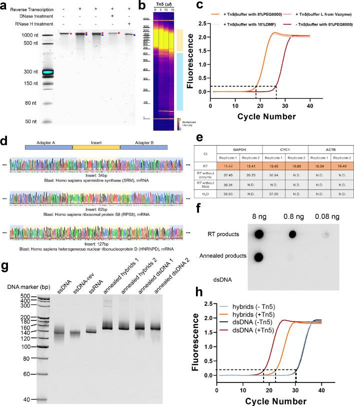 Tagmentation activity of Tn5 transposome on RNA/DNA hybrids. ( a ) Denaturing (8 M urea) polyacrylamide gel analysis of reverse transcription products of an in vitro transcribed mRNA (IRF9). Lane 1: ssRNA marker. Lane 2: in vitro transcribed mRNA (IRF9). Lane 3 and 4: reverse transcription products of an in vitro transcribed mRNA (IRF9). Lane 5: reverse transcription product treated with DNase I. Lane 6: reverse transcription product treated with RNase H. ssRNA and ssDNA is marked with a red asterisk and a blue pound sign, respectively. ( b ) Gel picture showing size distribution of RNA/DNA hybrids products of 50 μl reaction systems without Tn5 transposome, and with 5 μl, 10 μl, and 15 μl Tn5 transposome, respectively. The blue and orange patches denote small and large fragments, respectively. ( c ) qPCR amplification curve of tagmentation products without Tn5 treatment or with Tn5 treatment in three different buffers (see Methods). Average Ct values of two technical replicates are 26.41, 18.39, 18.33 and 18.34, respectively. ( d ) Sanger sequencing chromatograms of PCR products following RNA/DNA hybrid tagmentation and strand extension. Adaptor A and B sequences are highlighted with blue background color and insert sequences are highlighted with yellow background. ( e ) Assessment of gDNA contamination by qPCR of represented genes. ( f ) Dot blot analysis of a series of diluted samples using the anti-hybrid S9.6 antibody. S9.6 antibody showed no cross-reactivity with dsDNA and the successful hybrids productions were confirmed in CLuc annealed products and mRNA RT products. ( g ) Native PAGE analysis of 150 bp CLuc annealed products under different annealing conditions. (Annealed hybrids 1: RNA:DNA = 2:1; Annealed hybrids 2: RNA:DNA = 1.2:1; Annealed dsDNA 1: ssDNA:ssDNA-rev = 2:1; Annealed dsDNA 2: ssDNA:ssDNA-rev = 1.2:1; See Methods). ( h ) qPCR amplification curve of tagmentation products of CLuc annealed RNA/DNA hybrid and dsDNA products with Tn5 treatment or w