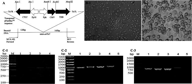 Construction of the <t>Baculovirus</t> transfer vector, pFastBac™DuaI-CMV/THB-P10/CTLT, and identification of the recombinant Baculovirus BmNPV-CMV/THB-P10/CTLT. A, Construction of the Baculovirus transfer vector, pFastBac™DuaI-CMV/THB-P10/CTLT, a coding sequence (CTLT) of T lymphocyte epitopes from H1HA, H9HA, and H7HA AIV subtypes was controlled by the baculovirus P10 promoter, and a coding sequence (THB) of B cell epitopes from the H1HA, H9HA, and H7HA AIV subtypes was driven by the CMV promoter. B-1, control BmN cells; B-2, the recombinant Baculovirus BmNPV-CMV/THB-P10/CTLT-infected BmN cells. C-1, the CMV promoter amplified from the recombinant Baculovirus BmNPV-CMV/THB-P10/CTLT; lane M: DNA marker; lane 1: BmNPV; and lanes 2–4: P1, P2, and P3 BmNPV-CMV/THB-P10/CTLT. C-2, the THB fragment amplified from the recombinant Baculovirus BmNPV-CMV/THB-P10/CTLT; lane M: DNA marker; lanes 1–3: P1, P2, and P3 BmNPV-CMV/THB-P10/CTLT; lane 4: pFastBacTMDuaI-CMV/THB-P10/CTLT; lane 5: BmNPV. C-3, the CTLT fragment amplified from the recombinant Baculovirus BmNPV-CMV/THB-P10/CTLT; lane M: DNA marker; lanes 1–3: P1, P2, and P3 BmNPV-CMV/THB-P10/CTLT; lane 4: pFastBacTMDuaI-CMV/THB-P10/CTLT; lane 5: BmNPV