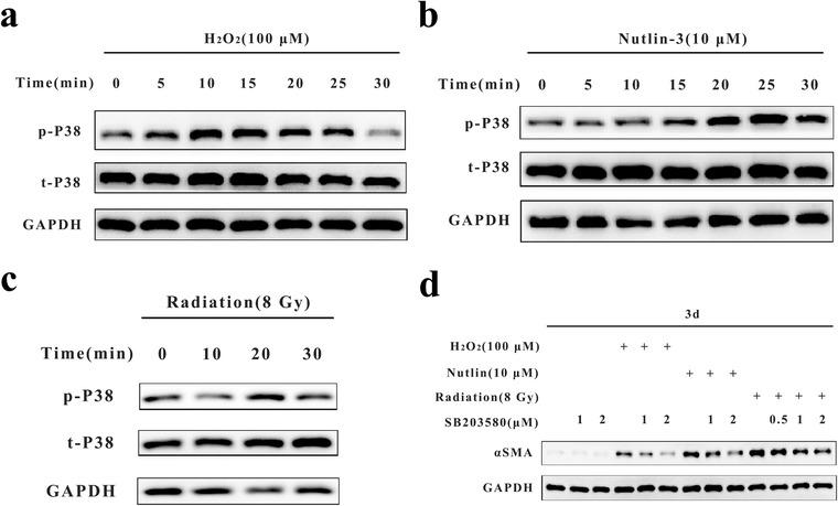 ROS induced MMT through p38‐MAPK signaling pathway. A‐C, Western blot analysis of p‐p38 and t‐p38 expression in monocytes treated with H 2 O 2 (100 µM), nutlin‐3 (10 µM), or radiation (8 Gy) at different time points (≤30 min). GAPDH was used as the loading control. D, Western blot analysis of αSMA expression in monocytes treated with H 2 O 2 (100 µM), nutlin‐3 (10 µM), or radiation (8 Gy) and the p38 inhibitor SB203580 (0/0.5/1/2 µM). GAPDH was used as the loading control. Data are representative of three experiments Abbreviations: MAPK, mitogen‐activated protein kinase.