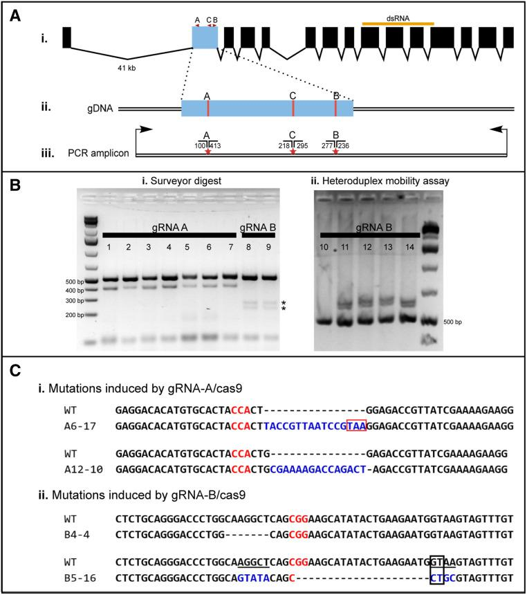 Oncopeltus CRISPR/Cas9 mutagenesis workflow. (A) (i) Genomic structure of Of-w ; exon boundaries are based on transcriptome data and the alignment of a cDNA sequenced in this study to the genome; however, exon 4 was not found in the genome. The dsRNA target region (519 bp) used in this study is shown as an orange bar (exons only). (ii) The target location gRNAs (A–C) used in this study are in red. (iii) The primers used to PCR-amplify exon 2 for our two genotyping assays are shown as black arrows. The amplicon is 513 bp and includes some intronic regions surrounding the exon. Stars mark the predicted loci of Cas9 cleavage and thus likely mutation; the predicted Surveyor cleavage product sizes (in base pairs) for each gRNA are shown above the strands. (B) Gels showing representative results from the Surveyor digest and the heteroduplex mobility assays used to genotype G1s. (i) In the Surveyor assay, PCR products were digested with Surveyor nuclease, resulting in cleavage in samples derived from heterozygous individuals. All gRNA A individuals screened here (lanes 1–7) show the expected cleavage products (∼100 and 413 bp), as do all gRNA B individuals (lanes 8–9; ∼277 and 236 bp, asterisks), identifying all individuals shown here as heterozygotes. (ii) In the heteroduplex mobility assay, 5 μl of PCR product was electrophoresed on a 4% agarose gel for > 5 hr at 80 V, allowing visualization of heteroduplexes, which migrate more slowly than homoduplexes, in samples from heterozygotes (lanes 11–14); thus, samples from homozygous individuals (WT) should produce only the 513-bp band (lane 10). (C) Sequenced mutant alleles induced by (i) gRNA-A/Cas9 and (ii) gRNA-B/Cas9. Red and blue lettering indicate the PAM site and insertions, respectively. (i) The mutant allele from individual A6-17 has a 16-bp insertion (blue) that adds a premature stop codon (red box); the allele from individual A12-10 has a 15-bp insertion (blue) and 1-bp deletion that induces a frameshift. (ii) The 