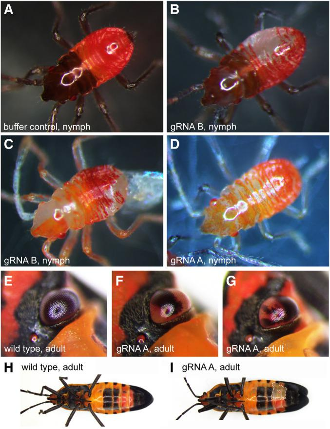 High rates of somatic mutation were observed after Of-w CRISPR mutagenesis. Examples of first-instar nymph hatchlings at varying stages (A–D) or adults (E–I) after injection of embryos with buffer or gRNAs and Cas9, are shown. (A) Nymph post-melanization, control injection with buffer; (B) nymph mid-melanization, gRNA-B; large translucent patches can be seen in the abdomen; and (C) nymph premelanization, gRNA-B; mosaic translucent patches are obvious in the right half of the head and patches in the thorax, abdomen, and appendages. (D) Nymph pre-melanization, gRNA-A; translucent regions can be seen throughout the body; (E) adult compound eye, wild-type; (F) adult compound eye, gRNA-A, individual A-14; and (G) adult compound eye, gRNA-A, individual A-13. The black pigmentation seen in wild-type is absent from sections of the eye in these two individuals (F and G). (H) Wild-type pigmentation in adult body, ventral view. (I) Mosaic loss of pigmentation in lateral patch (dotted white outline) in adult body, gRNA-A, individual A-13, ventral view. CRISPR, clustered regularly interspaced short palindromic repeats; gRNA, guide RNA.