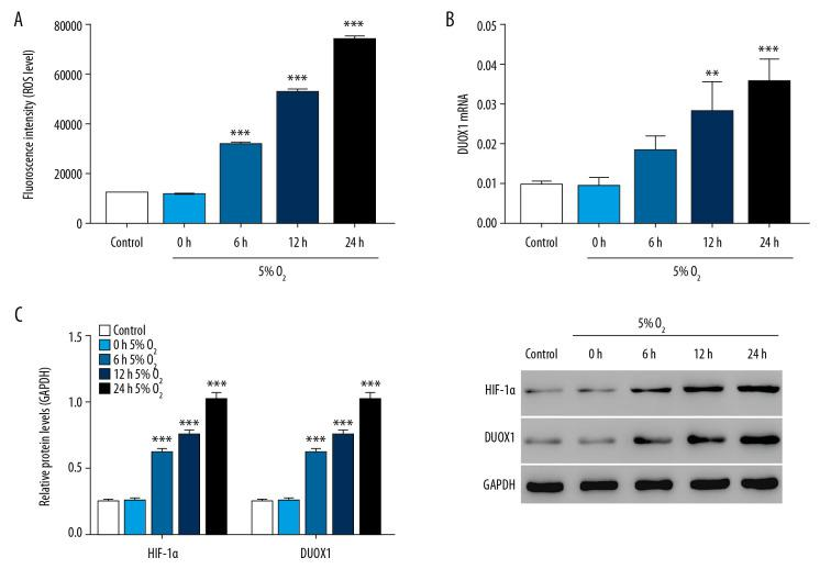 ROS was significantly increased in hypoxia-induced injury in rat primary neuron cells. ( A ) ROS level was detected by flow cytometry after 0, 6, 12, and 24 hours of hypoxic culture. ( B ) The mRNA expression of DUOX1 was detected by Q-PCR after 0, 6, 12, and 24 hours of hypoxic culture. ( C ) The protein expression of HIF-1α and DUOX1 was detected by western blot after 0, 6, 12, and 24 hours of hypoxic culture. * P
