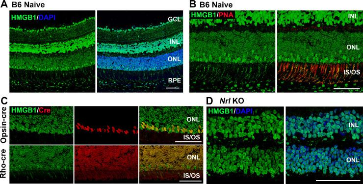 The expression pattern of HMGB1 in the mouse retina. ( A ) Naive retinas of 8-week-old C57BL/6J mice were probed with anti-HMGB1 antibody (Ab). Note low HMGB1 Ab IF in most of the nuclei in the ONL. ( B ) Naive retinas of C57BL/6 mice were probed with anti-HMGB1 Ab ( green ) and PNA ( red ). Note juxtaposition of PNA binding (indicating cone inner and outer segments) with a minority of photoreceptor nuclei with high HMGB1 Ab binding. ( C ) Colocalization of HMGB1 ( green ) and Cre ( red ) in the naive retinas of opsin-Cre and rhodopsin-Cre (Rho-cre) mice on a C57BL/6J background. Note the colocalization of high HMGB1 IF with opsin-Cre IF but no colocalization with rho-Cre IF. ( D ) Naive retinas of Nrl −/− mice (cone-like photoreceptors only) were probed with anti-HMGB1 Ab and nuclei were counterstained with DAPI. Note that HMGB1 IF is comparable in the ONL and INL. GCL, ganglion cell layer; INL, inner nuclear layer; IS/OS, inner and outer segments. Scale bars : 50 µm.