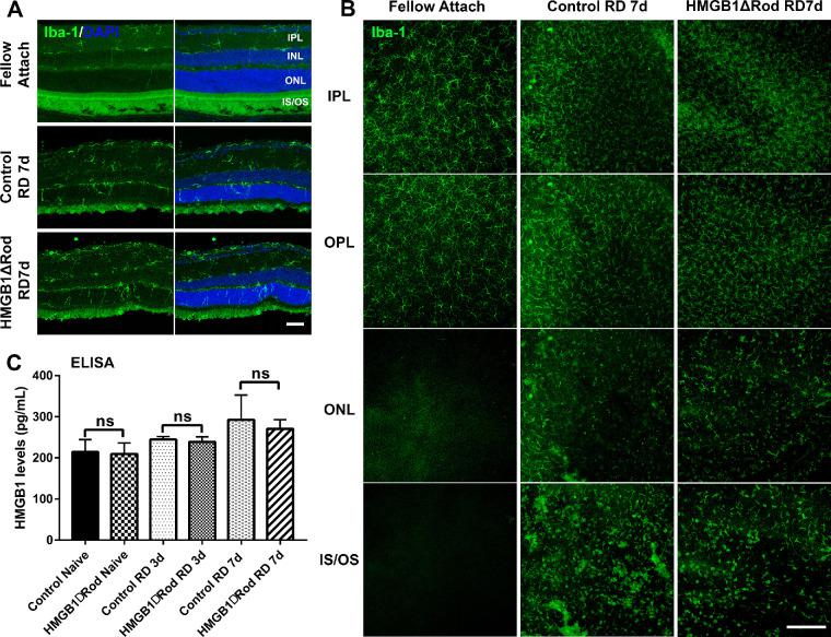 Conditional knockout of <t>HMGB1</t> in rods does not affect microglial activation or mobilization. ( A ) Retinas of HMGB1ΔRod and control mice were sectioned at a 30-µm thickness and probed with anti–Iba-1 antibody to view activation and mobilization of microglia/macrophage at 7 dprd. Nuclei were counterstained with DAPI. Scale bar : 50 µm. ( B ) Entire retinas of HMGB1ΔRod and control mice were probed with anti–Iba-1 antibody and flat-mounted for confocal imaging at 7 dprd. Multiple confocal images were Z-stacked to create merged images of different layers of the retina based on the DAPI staining. Scale bar : 200 µm. ( C ) Supernatants from eyecups were collected and the levels of HMGB1 in HMGB1ΔRod and control mice at 3 and 7 dprd were measured by ELISA. One-way ANOVA ( n = 4). IPL, inner plexiform layer; IS/OS, inner and outer segment; ns, not significant; OPL, outer plexiform layer.