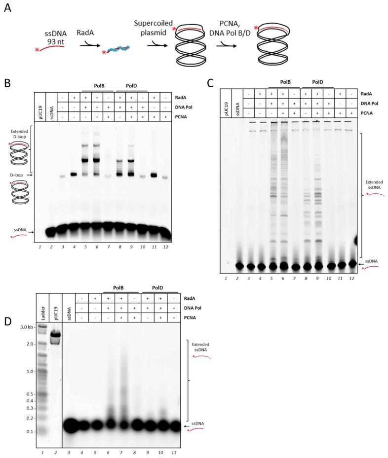 Addition of PCNA stimulates DNA extension by DNA polymerases on recombination intermediates. ( A ) Schematic representation for DNA extension by family-B polymerase (PolB) or family-D polymerase (PolD) following the D-loop formation by RadA described in Figure 1 A. ( B ) Recombination-associated DNA synthesis assay. An amount of 25 nM of labeled ssDNA was first incubated with 1.6 µM RadA for 10 min at 65 °C. Then, 25 nM of purified supercoiled pUC19 was added and incubated for another 10 min. D-loop provided by RadA strand exchange activity was extended by 675 nM of PolB or PolD for 1 hr at 65 °C. DNA products were separated on a 1.2% native agarose gel. Same DNA products from ( B ) were separated as well in 5% denaturing acrylamide gel ( C ) or 1% denaturing alkaline agarose gel ( D ). When indicated, 675 nM of PCNA was added together with DNA polymerases. DNA products were revealed by fluorescence for HiLyte TM 647 labeled DNA. The denaturing alkaline agarose gel ( D ) was also stained by SYBR Gold to detect the DNA ladder (lane 1) and pUC19 plasmid (lane 2). For all the experiments, controls were treated as the assays (volume and incubation time), when a protein was absent it was replaced by the corresponding buffer. The two bands at the top of the gel in lanes 3 to 12 are non-specific products corresponding to incomplete denaturation of pUC19 plasmid with residual labelled ssDNA fixed on melted regions.