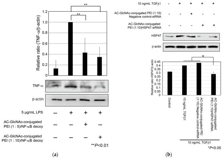 Expression of tumor necrosis factor (TNF)-α in lipopolysaccharide (LPS)-stimulated normal human dermal fibroblasts (NHDFs) and expression of heat shock protein 47 (HSP47) in transforming growth factor-β (TGF-β)-stimulated NHDFs. ( a ) TNF-α secreted from the NHDFs in the culture media was detected by Western blotting. ( b ) Expression of HSP47 in TGF-β-stimulated NHDFs. These graphs show TNF-α and HSP47 expression levels determined by densitometry. TNF-α and HSP47 expression levels were normalized against <t>β-actin</t> expression levels.