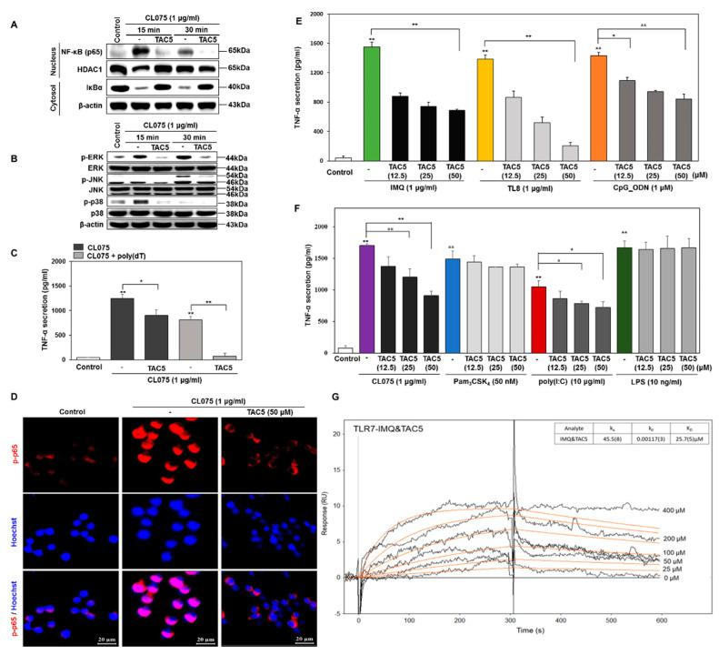 TAC5 inhibits the CL075-induced proinflammatory response. RAW 264.7 cells were treated with 50 µM of TAC5 for 1 h, followed by treatment with CL075 (1 µg/mL) for 15 and 30 min, respectively. ( A ) Nuclear factor kappa-light-chain-enhancer of activated B cells (NF-κB) activation (NF-κB translocation into the nucleus and degradation of IκBα in the cytosol) was measured by western blotting. Histone deacetylase-1 was used as a nucleus loading control. β-actin was used as a cytosol loading control. ( B ) The expression levels of mitogen-activated protein kinases (MAPKs) were evaluated by western blot analysis using whole protein extracts, with inactive MAPKs used as controls (β-actin was used as a loading control). ( C ) Inhibition of TNF-α secretion by TAC5 in the presence of CL075 and a combination of CL075 and poly(dT). ( D ) Confocal microscopy image of the phosphorylated NF-κB (p-p65) expression level. The red staining corresponds to phosphorylated p65 subunit of NF-κB (p-p65) and blue staining (Hoechst33258) indicates nuclei (the scale bar is 20 µm in width). ( E , F ) The expression level of TNF-α was measured by ELISA when the TAC5 was co-treated with ( E ) imiquimod (TLR7), TL8-506 (TLR8), CpG ODN (TLR9) (F) Pam 3 CSK 4 (TLR1/2), poly(I:C) (TLR3), LPS (TLR4), or CL075 (TLR7/8) agonists in RAW 264.7 cells. ( G ) Surface plasmon resonance (SPR) sensorgram illustrating the competi tive binding of TAC5 to TLR7 in the presence of imiquimod. The data shown represent five independent experiments, and the bars represent means ± SEM (* p