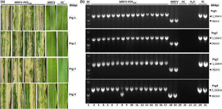 Testing of the stability of MRFV‐PDS 120 using serial passage inoculations with crude plant sap. (a) MRFV‐PDS 120 symptoms and chlorophyll photobleaching phenotype at 30 dpi for each passage, compared to MRFV‐WT and noninoculated plants (HC). (b) RT‐PCR analysis (primers sm151 and sm152) of the integrity of MRFV‐PDS 120 at each of the four passages. All the MRFV‐PDS 120 ‐infected plants obtained for each passage were RT‐PCR assayed both at 15 dpi (not shown) and at 60 dpi (representative gel shown here). Healthy plants (HC) and water (H 2 O) were included as negative controls, and MRFV‐PDS 120 plasmid (PL) as a positive control. M: 100 bp DNA marker.