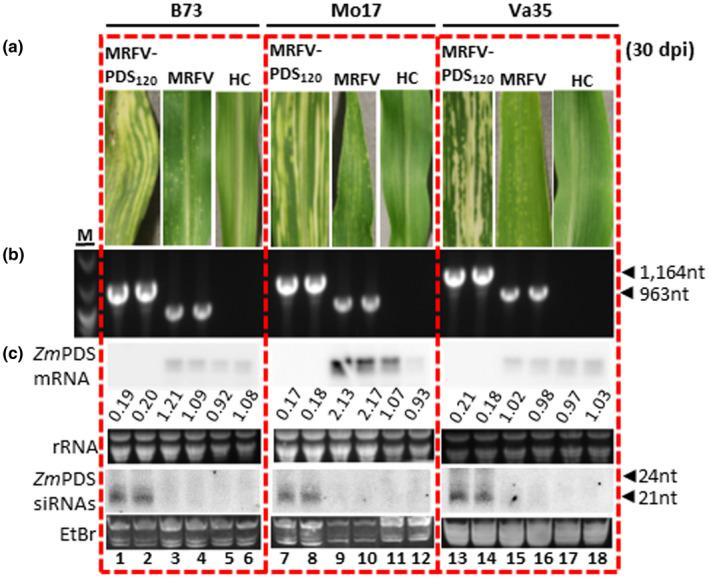Utility of the MRFV VIGS system on different maize inbred lines. (a) MRFV symptoms and PDS photobleaching induced by MRFV‐PDS 120 on B73, Mo17, and Va35 maize inbred lines compared to plants inoculated with MRFV‐WT or noninoculated healthy controls (HC). (b) RT‐PCR detection of MRFV‐PDS 120 and MRFV‐WT in systemic leaves of B73, Mo17, and Va35 plants 30 dpi. Noninoculated plants (HC) and water (H 2 O) were included as negative controls; MRFV‐PDS 120 plasmid (PL) served as a PCR‐positive control (not shown). M: 100 bp DNA marker. (c) Northern blot analysis of VIGS induced by MRFV‐PDS 120 on B73, Mo17, and Va35 maize inbred lines. Blot hybridizations were as described for Figure 3 . PDS mRNA and siRNA levels in MRFV‐PDS 120 ‐infected plants are shown (lanes 1–2; 7–8; and 13–14) compared to MRFV infected (lanes 3–4; 9–10; and 15–16) and healthy plants (lanes 5–6; 11–12; and 17–18). The relative levels of PDS mRNA were determined as described in Figure 3