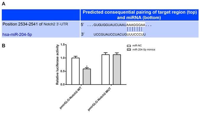 <t>Notch2</t> is the target gene of miR-204-5p . (A) The target site for Notch2 and miR-204-5p was predicted using TargetScan software. (B) Detection of dual-luciferase reporter activity. *P
