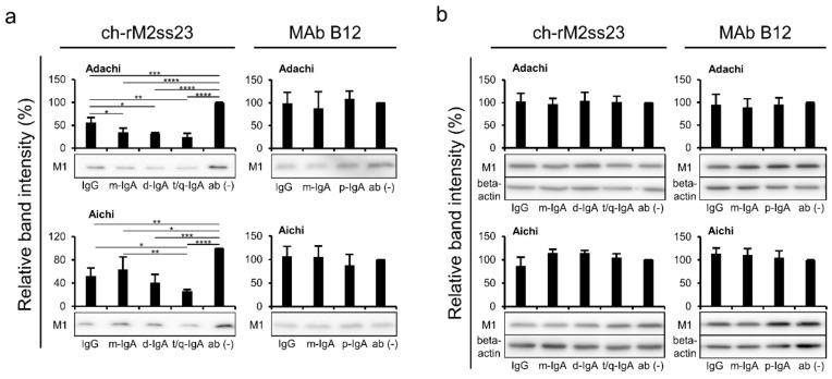 Detection of the viral protein in supernatants and lysates of IAV-infected cells. MDCK cells plated in <t>12-well</t> plates were infected with IAVs at m.o.i. 2.0 and incubated with or without MAbs B12 and ch-rM2ss23 for 8 h at 35 °C. The cells infected with Adachi and Aichi were incubated with or without the MAbs at 10 µg/mL and 1 µg/mL, respectively. The M1 protein in supernatants ( a ) and cell lysates ( b ) was detected in western blotting. Beta-actin was also stained for cell lysate samples. Band intensities relative to each control sample (i.e., cells incubated without MAbs) are shown. Each experiment was performed three times and averages and standard deviations are shown. Asterisks indicate significant differences (* p