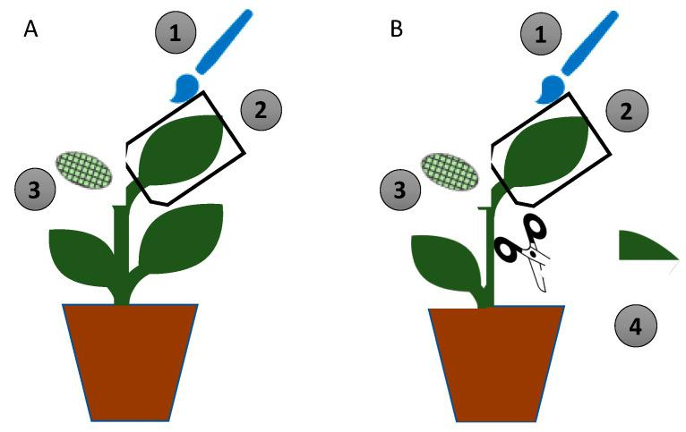 Design of the in-planta experiment. ( A ) Non-damaged plant; ( B ) damaged plant. (1) One leaf was brushed with the fungal suspension (treated) or sterile water with 0.1% Tween 80 (control). (2) The leaf was covered with a transparent plastic bag for 48 h. (3) Four L 2 Spodoptera littoralis larvae were clipped on a non-treated leaf at 48 h and left to feed on the leaf for 48 h. (4) Damage was artificially caused by tearing a non-treated leaf at 48 h after fungal inoculation.