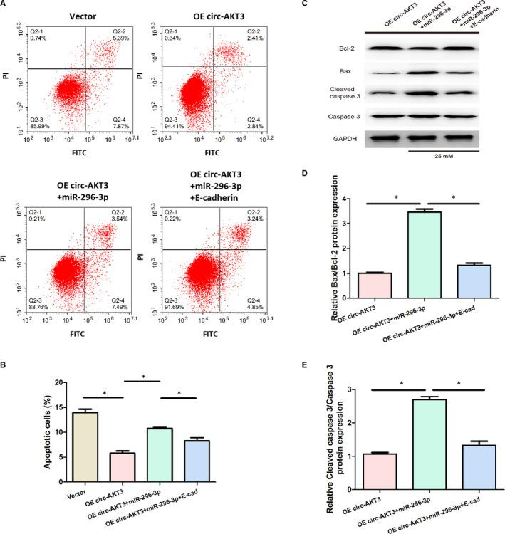 Effect of circ‐AKT3/miR‐296‐3p/E‐cadherin on the apoptosis of mouse mesangial SV40‐MES13 cells. (A, B) Cell apoptosis of mouse mesangial SV40‐MES13 cells was detected by flow cytometry assay in each group. (C‐E) Relative Bax/Bcl‐2 and Cleaved caspase 3/Caspase 3 protein expression were measured via Western blot analysis in each group * P
