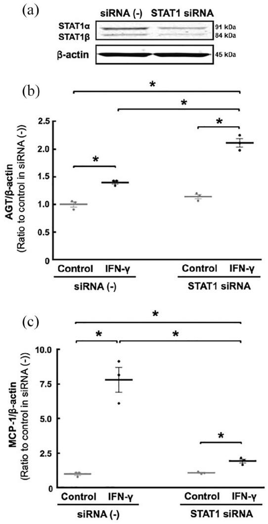 Contribution of STAT1 to the IFN-γ-induced AGT and MCP-1 augmentations. To elucidate further the mechanisms underlying the regulation of AGT and MCP-1 by IFN-γ, basal STAT1 expression was suppressed using STAT1-siRNA ((a) N =3 replicates per condition from three independent experiments). Thereafter, the cells were treated with 20 ng/ml IFN-γ for 8 hours. AGT mRNA ((b) N =3 replicates per condition from three independent experiments) and MCP-1 mRNA ((c) N =3 replicates per condition from three independent experiments) levels were measured by qRT–PCR. AGT and MCP-1 mRNA levels were normalised based on β-actin mRNA levels. Data are expressed as relative values compared with each control group and represent the mean ± SE. Asterisk ( P