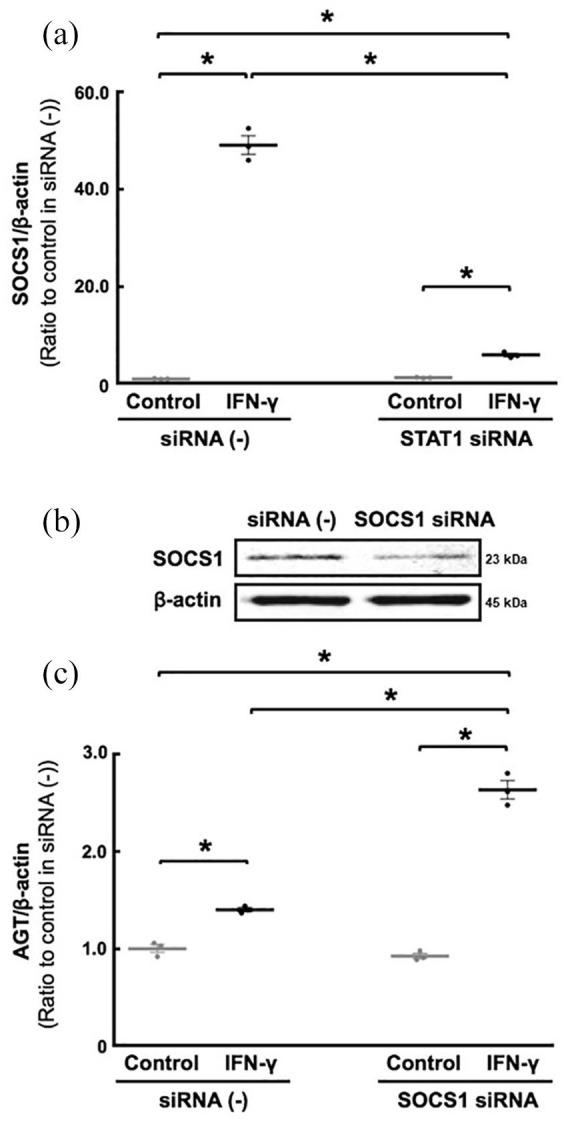 Participation of SOCS1 in IFN-γ-induced AGT augmentations. Involvement of STAT1 in SOCS1 regulation was tested using STAT1-siRNA as shown in Figure 4 (a) . Furthermore, MCs were treated with SOCS1-siRNA ((b) N =3 replicates per condition from three independent experiments). Thereafter, the cells were treated with 20 ng/ml IFN-γ for 24 hours. Then, AGT mRNA levels were measured by qRT–PCR (c). AGT mRNA levels were normalised based on β-actin mRNA levels. Data are expressed as relative values compared with each control group and represent the mean ± SE. Asterisk ( P