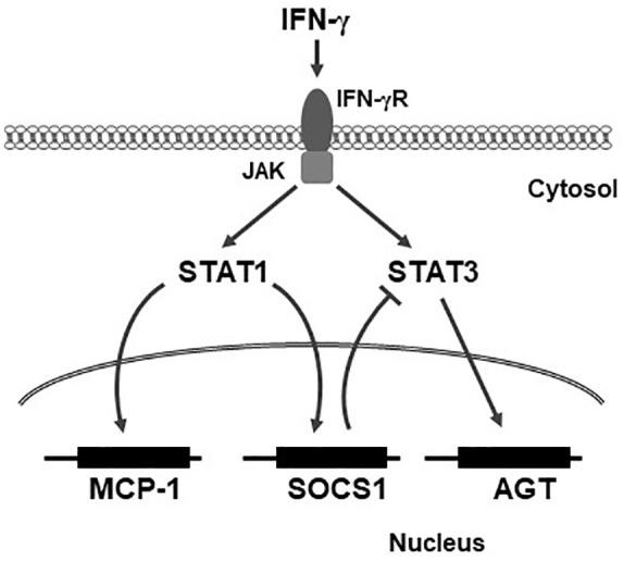 Schematic summary of proposed MCP-1, AGT regulation by IFN-γ-STAT1 in rat MCs. IFN-γ induces MCP-1 and SOCS1 expression directly via STAT1 in rat MCs. Conversely, STAT1-induced expression of SOCS1 attenuates IFN-γ-STAT3-mediated expression of AGT, providing feedback regulation of IFN-γ-AGT signaling in rat MCs. These results demonstrate that while IFN-γ increases both AGT and MCP-1 expression, STAT1 plays an opposing role in the regulation of each factor in MCs. MCP-1: monocyte chemoattractant protein 1; AGT: angiotensinogen; IFN-γ: interferon-γ; SOCS1: suppressor of cytokine signaling 1; MCs: mesangial cells.