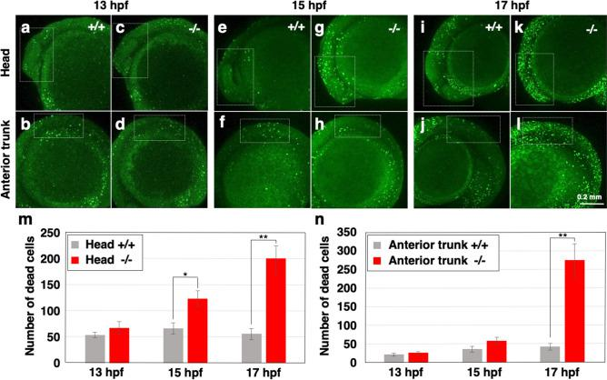 Increase of cell death in <t>polr2d</t> mutants. ( a – l ) Images of acridine orange-labeled dead cells in zebrafish embryos. White dotted boxes mark the head (anterior to midbrain/hindbrain boundary; a , b , e , f , i , j ) and anterior trunk (somite 1–4; c , d , g , h , k , l ) regions. ( m , n ) The number of dead cells in the head ( m ) and anterior trunk ( n ) regions. Note that cell death in mutants increased at the onset of 15 hpf in the head and at the onset of 17 hpf in the anterior trunk. n = 7 for each sample set.