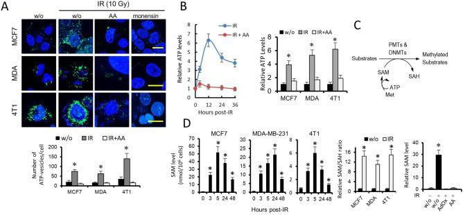 IR increases cellular methylase activity through its coupling to a SAM-producing metabolic pathway. ( A ) Effects of IR, the respiratory chain inhibitor AA and <t>monensin</t> (10 µM) on quinacrine-stained breast cancer cells. Cells were loaded with 10 µM quinacrine. IR led to the accumulation of quinacrine fluorescence in breast cancer cells, whereas AA and monensin led to the loss of quinacrine fluorescence. w/o, without treatment. Scale bars refer to 10 µm. ( B ) The histogram represents the effects of IR (10 Gy, 12 h) and/or AA on ATP levels in breast cancer cells. * P
