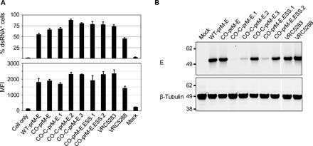 In vitro characterization of ZIKV SAM constructs. ( A ) Potency of the ZIKV SAM constructs. The RNA was in vitro transcribed, and 0.1 μg of the RNA from each vaccine construct was electroporated into BHK cells. Cells were collected 24 hours later and stained with an anti-dsRNA antibody. The upper and lower panels show the percentage and MFI of dsRNA-positive cells determined using flow cytometry, respectively. Error bars represent the SD of technical triplicates. Shown are the representatives of at least two experiments. ( B ) ZIKV SAM RNA expression of prM-E protein. BHK cells were electroporated with 4.0 μg of the indicated SAM RNA. Twenty-four hours later, cells were collected and lysates were analyzed by immunoblotting using antibody 4G2 specific to flavivirus E protein or to β-tubulin. Shown are the representatives of at least two experiments.