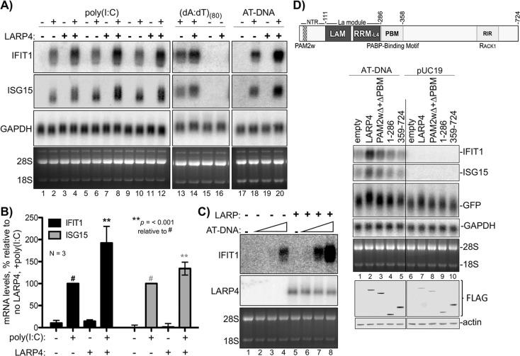 LARP4 promotes accumulation of interferon-induced innate immune mRNAs. ( A ) Northern blot analysis of two ISG mRNAs, IFIT1 and ISG15 after transfection-mediated induction by IFN-stimulating nucleic acids, and + / - co transfection with LARP4, as indicated above the lanes. Bottom panels are stained gels prior to transfer. ( B ) Quantitation of biological triplicate northern blot data, normalized by GAPDH, with the poly(I:C) +, LARP4 - sample (annotated with # above the bar) set to 100%; error bars represent 95% confidence interval. P values were calculated using a 2-tailed Welch's T-test with unequal variance. ( C ) Northern blot of IFIT1 and LARP4 from total RNA 48 hr after transfection of 0, 2, 4 or 6 µg of 1 kb AT-rich DNA in 6-well format (the total DNA amount for this component of the transfection was maintained at 6 µg with carrier pUC19), plus 2.5 µg pFLAG-LARP4 (+) or empty pFLAG vector ( - ) as indicated. ( D ) Top: schematic of LARP4 showing its two PABP-interaction motifs, PAM2w and PBM, the La-module comprised of LaM (La motif) and RRM-L4, and the RACK-1 interaction region (RIR). The N-terminal region (NTR) which is responsible for poly(A)-binding ( Cruz-Gallardo et al., 2019 ), is also indicated. Middle: Northern blot after co-transfection of 1 kb AT-rich DNA or pUC19 and various LARP4 constructs indicated above the lanes. Bottom: Western blot analysis of protein from the same cells.