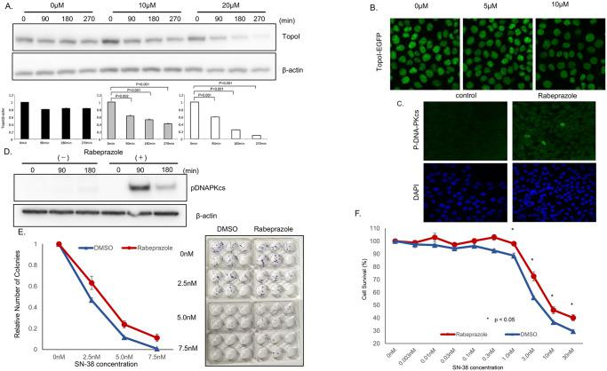 Rabeprazole promotes topo I degradation and irinotecan resistance. A , HCT116 cells were plated in a <t>6-well</t> plate and treated with various concentrations of rabeprazole (0, 10, 20 μM) for 72 h, and then with 2.5 μM SN-38 and harvested after 90 or 180 min. Cell lysates were immunoblotted with anti-topoI and anti-β-actin. B , Genomically edited HCT116 cells with TopoI-EGFP fusion proteins were treated with 5 and 10 μM of Rabeprazole for 48 hours and topoI-GFP protein level was analyzed by confocal microscope. C . HCT116 cells were plated in a 6-well plate, treated with 40 μM rabeprazole or DMSO for 72 h, and then with 2.5 μM SN-38, and harvested after 90 or 180 min. Cell lysates were immunoblotted with anti-pDNA-PKcs and anti-β-actin. D , HCT 116 cells were treated with rabeprazole, control and treated cells were analyzed by immunofluorescence analysis with anti-phospho-DNA-PKcs-pS2056 and confocal microscopy. E . HCT116 cells were plated in a 6-well plate and treated with rabeprazole or DMSO for 72 h. Then, 50 cells were plated in each well of a 6-well plate and treated with various concentrations of SN-38 for 24 hours. Cell colonies were counted after 14 days. F . HCT116 cells were plated in a 6-well plate and treated with 40 μM rabeprazole or DMSO for 72 h. Then, cells were plated in a 96-well plate and treated with various concentrations of SN-38 for 72 h. Cell viability was determined by luminescence detection.
